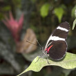 Stock Photo: Doris Longwing butterfly Heliconius doris