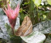 Morpho farfalla e rosa fiore — Foto Stock