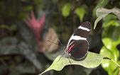 Doris Longwing butterfly Heliconius doris — Stock Photo
