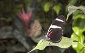 Doris Longwing butterfly Heliconius doris — Stock Photo