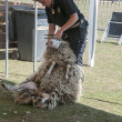 Shearing a sheep at the annual sheep shearing  in Ermelo, Holla - Stock Photo