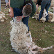 Stock Photo: Sheep shearing Ermelo