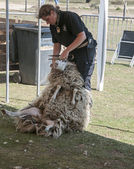 Shearing a sheep at the annual sheep shearing in Ermelo, Holla — Stock Photo