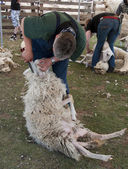 Sheep shearing Ermelo — Stock Photo