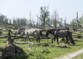 Wild konink horses in dutch landscape — Stock Photo