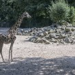 Giraffe in zoo — Stock Photo #29440667