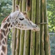Giraffe in zoo with bough — Stock Photo #29441429