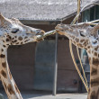 Two giraffes in zoo with bough — Stock Photo #29441619