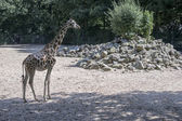 Giraffe in the zoo — Stock Photo