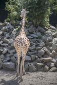 Backsite giraffe in the zoo — Stock Photo