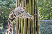 Giraffe in the zoo with a bough — Stock Photo
