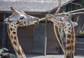 Two giraffes in the zoo with a bough — Stock Photo