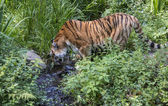Pantera tigris altaica amurtigerdrinking water in zoo — Stock Photo