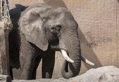 Young elephant — Stock Photo