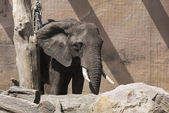 Mladý slon — Stock fotografie