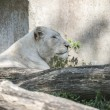 White lion in the zoo — Stockfoto