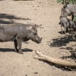 Warthog in the zoo — Stock Photo #29513381