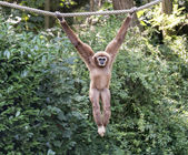 Young gibbon monkey — Stock Photo