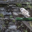 White owl on bird show — Stock Photo