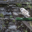 Stock Photo: White owl on bird show