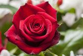 Rosa rossa — Foto Stock
