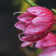 Waterdrops on pink lily — Stock Photo