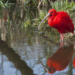 Red ibis — Stock Photo