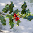 Holly — Stock Photo #32665645