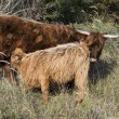 Mother and young galloway — Stock Photo #32839201