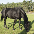 Black horse on green grass — Stock Photo
