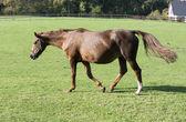 Brown horse running — Stock Photo