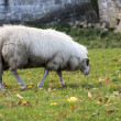 White sheep grazing — Stock Photo