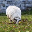 Stock Photo: White sheep grazing