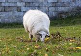 White sheep grazing — Stock Photo