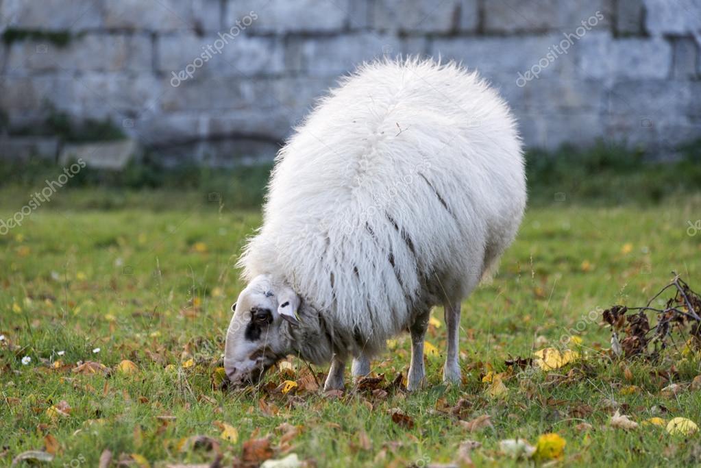 White sheep - photo#25