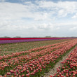 Tulip fields in holland — Stock Photo