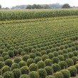 Lot of buxus trees in a field in rows — Stock Photo #35907331