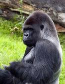 Gorilla — Foto Stock