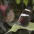 Stock Photo: Melpomene Heliconius