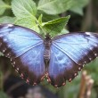 Blue morpho butterfly — Stock Photo #37673803