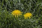Dandelion yellow flowers — Stock Photo