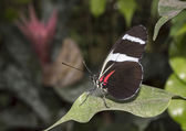 Melpomene Heliconius — Stock Photo
