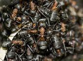 赤アリ — ストック写真