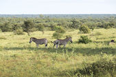 Zebras in the kruger national reserve  — Foto Stock