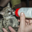 Baby genet animal feed by bottle — Stock Photo