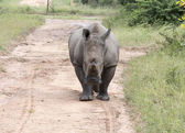 White rhino at the kruger park — Stock Photo