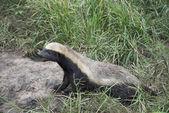 African honey ratel — Stock Photo