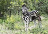 Zebra in the kruger national reserve  — Stock Photo