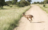 Running impala in kruger park — Stock Photo