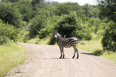 Zebra in the kruger national reserve  — Stok fotoğraf